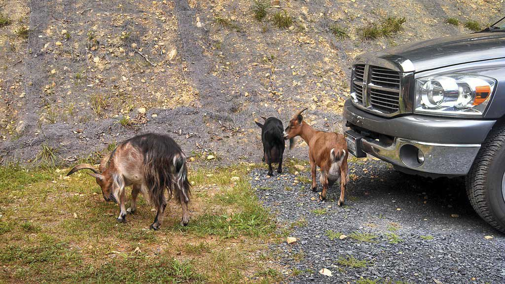The Goat, The Bear & The Frazzled Mountain Woman ~ A true story about 3 goats that visit our mountain home to seek refuge from a hungry black bear! Unreal! | TheMountainKitchen.com