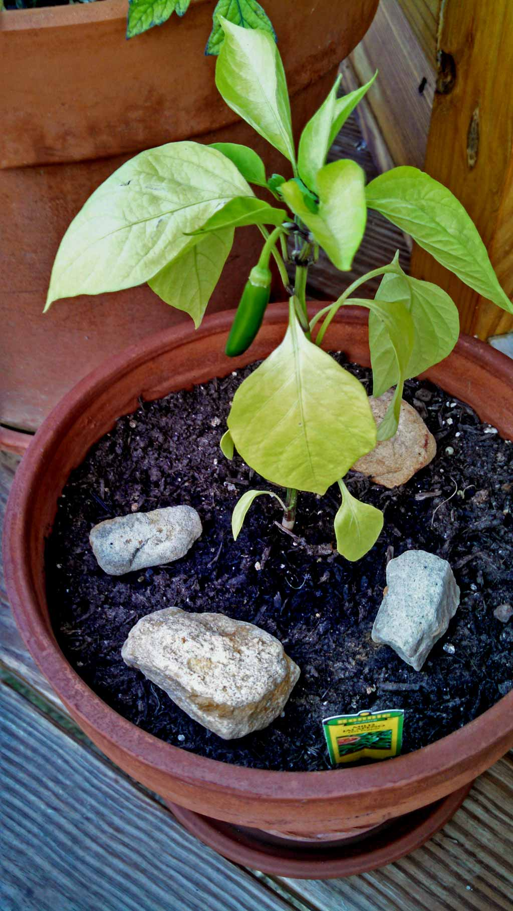 """I spotted a Jalapeno plant and decided I wastaking this guy home. I showed it to David and said: """"Look! We can have a Jose Jalapeno On The Deck!"""" 