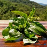 Basil is a very tender herb and once picked, basil wilts at an alarming rate. Learn 4 ways to preserve basil to enjoy for the winter months. | TheMountainKitchen.com