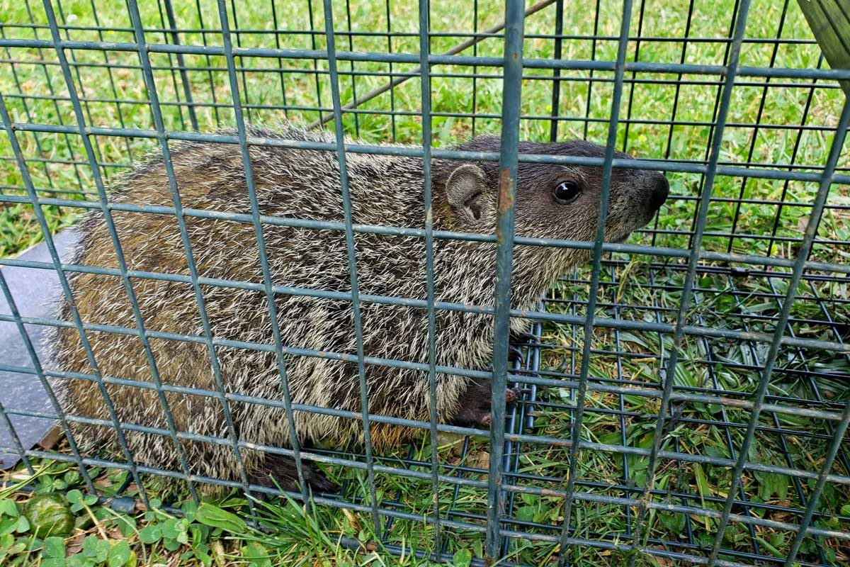 groundhog inside live trap